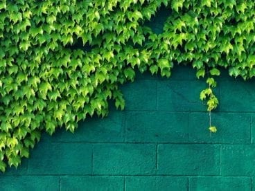 ivy on a green wall