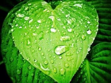 raindrops on heart-shaped leaf